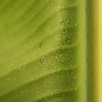 banan leaf water drops-1