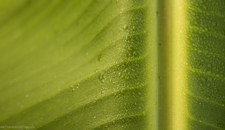 banan leaf water drops-1