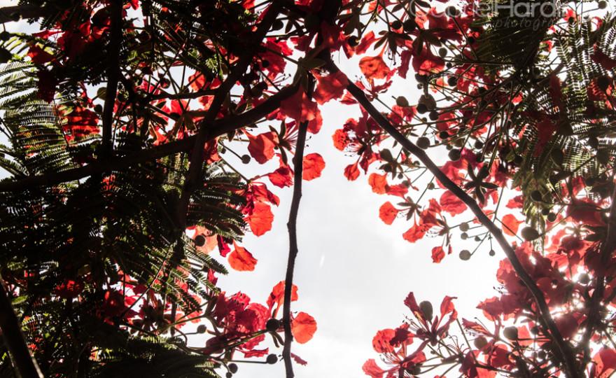 Flamboyant tree canopy-1