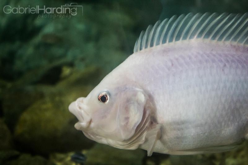 mowhawk, fish, aquarium