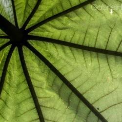 papaya-leaf-green-small