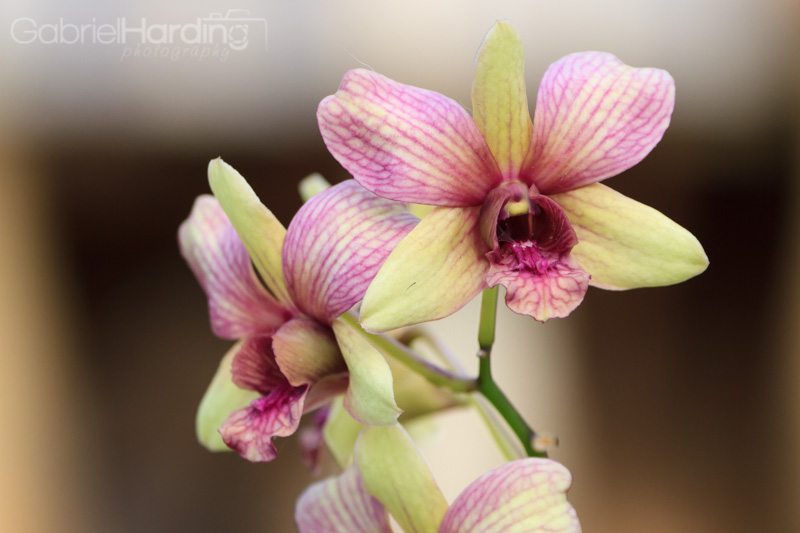orchids, flowers, scream, purple, striped