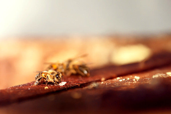 bees, apiculture, beehive, dominican republic, cute, buzz, summer, macro