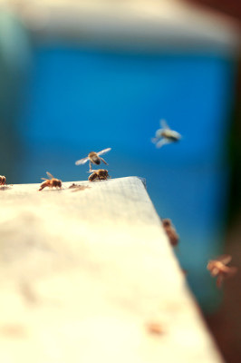 bees, apiculture, beehive, dominican republic, flying, buzz, blue
