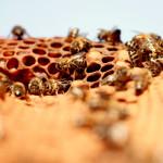 bees, apiculture, beehive, dominican republic, honey comb, honey, honey bee