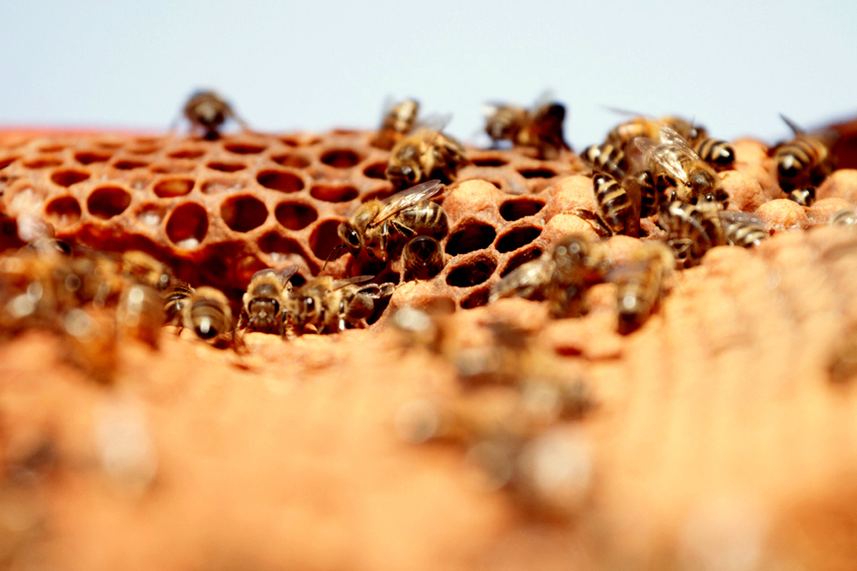 bees, apiculture, beehive, dominican republic, honey comb, honey, honey bee