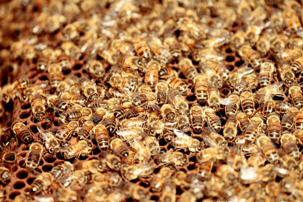 bees, apiculture, beehive, dominican republic, find the queen
