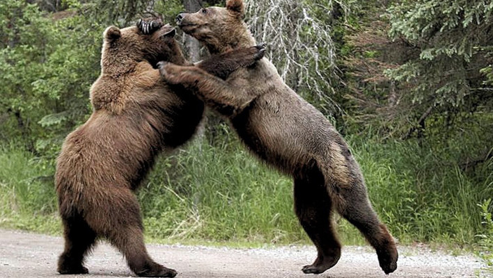 grizzly bears, grizzly, bears, animals, fight