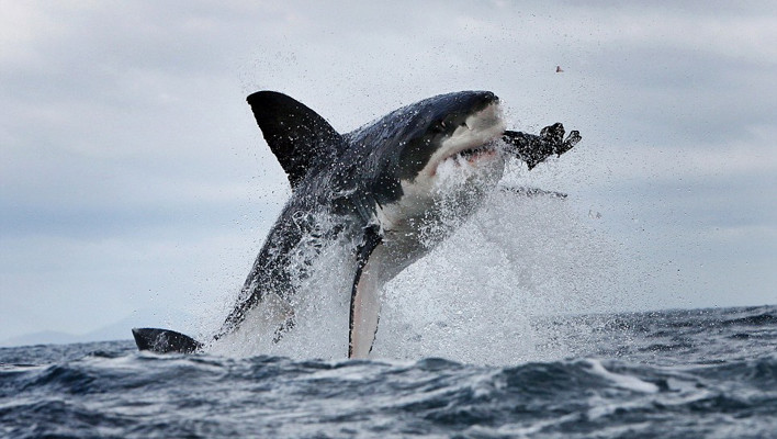 shark, great white, jumping, sharks