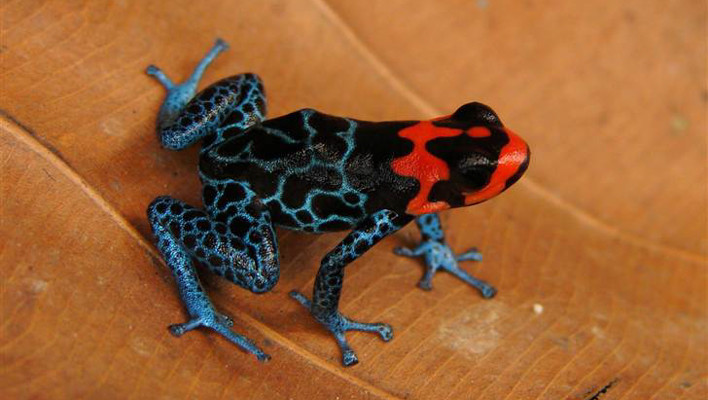 frog, venom, posion, danger, cute, colorful, frogs