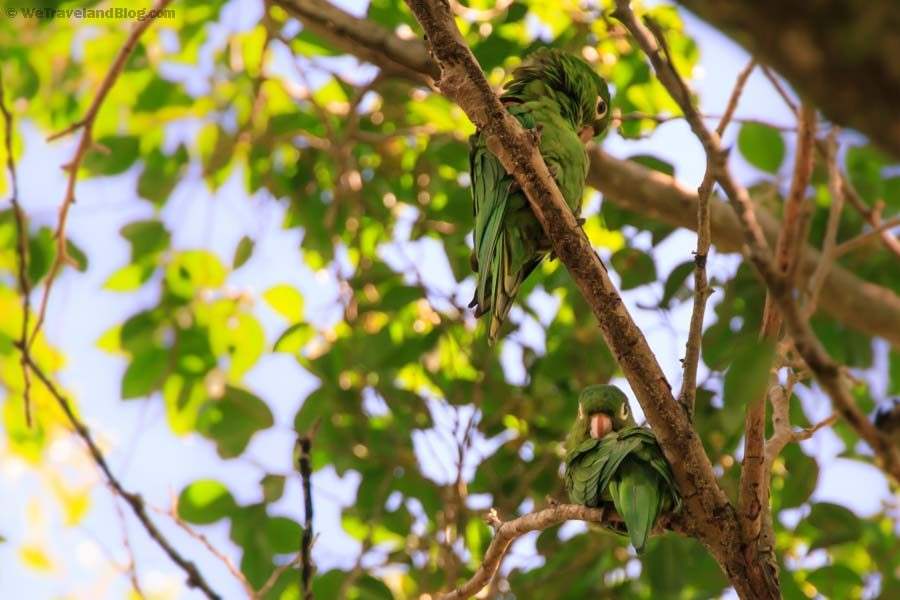 green parrots, parrot, animal, green, kuka