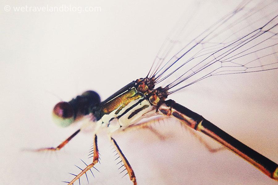 dragonfly, exoskeleton, macro, awesome macro photography, http://wetravelandblog.com