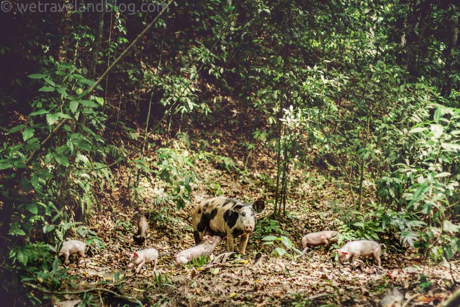 family of pigs, forrest, dominican republic, http://wetraveladnblog.com