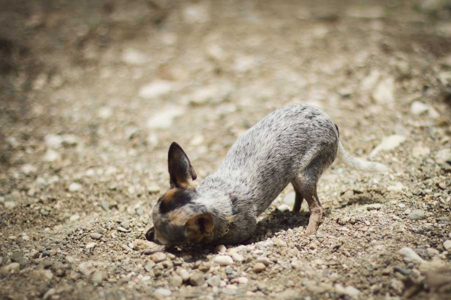 chihuahua, gravel, 50mm, short depth of field, adorable, rock bath, http://wetravelandblog.com