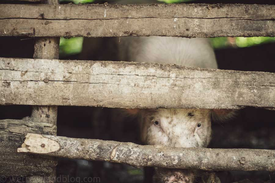 pig pen, pig, eyes, animal, farm animal, dominican republic, rural http://wetravelandblog.com