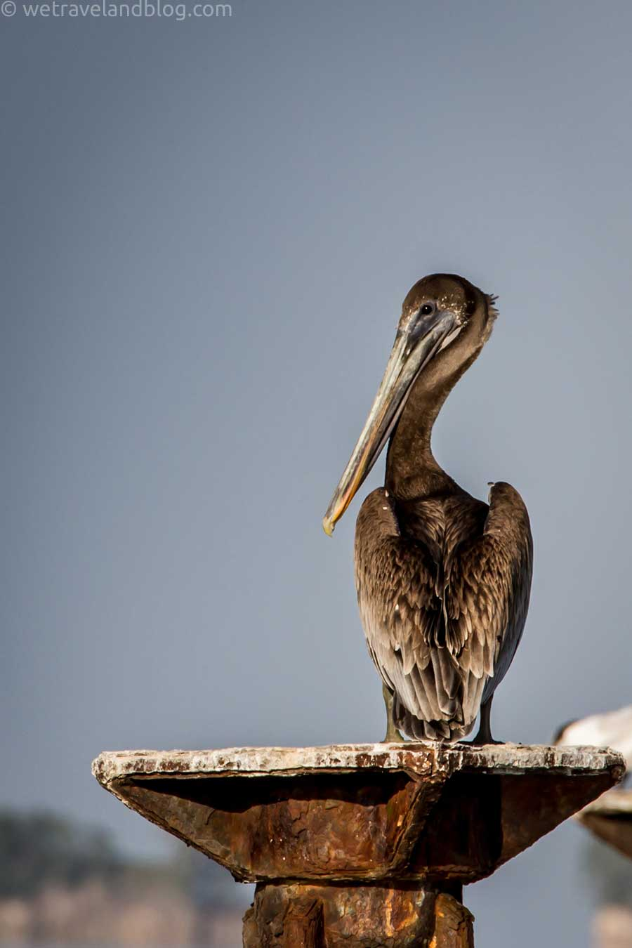 but my favorite by far are the pelicans.