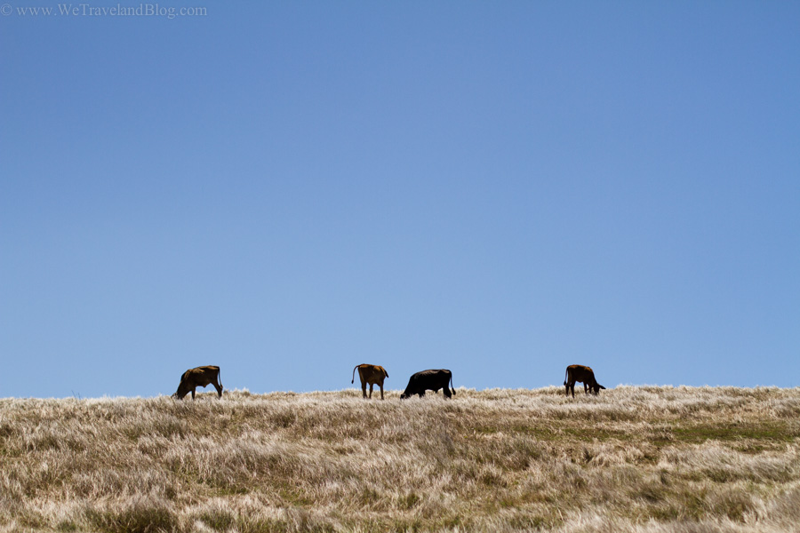 cows, golden, grass, sky, silhouettes, farm, dominican republic, simple life, http://wetravelandblog.com