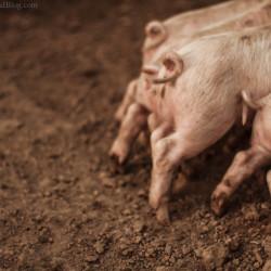 curly tails, piglets, pig, pigpen, farm, farmville, pork, http://wetravelandblog.com