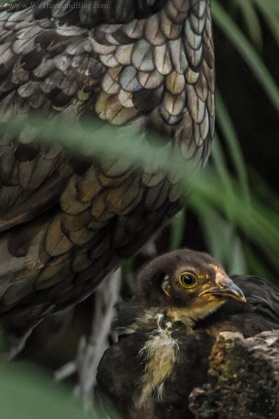 chick, chicken, feathers, beautiful, caring, mother, hen, dominican republic, http://wetravelandblog.com