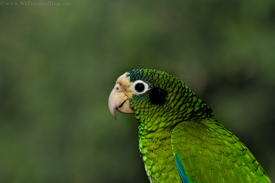 parrot, tropical, green, dominican republic, cuca, green parrot, pet, http://wetravelandblog.com