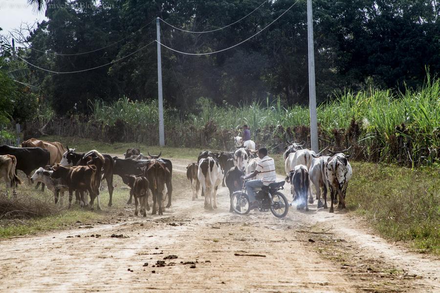 herding, motor, motorcycle, cowboy, modern cowboy, dominican republic, http://wetravelandblog.com