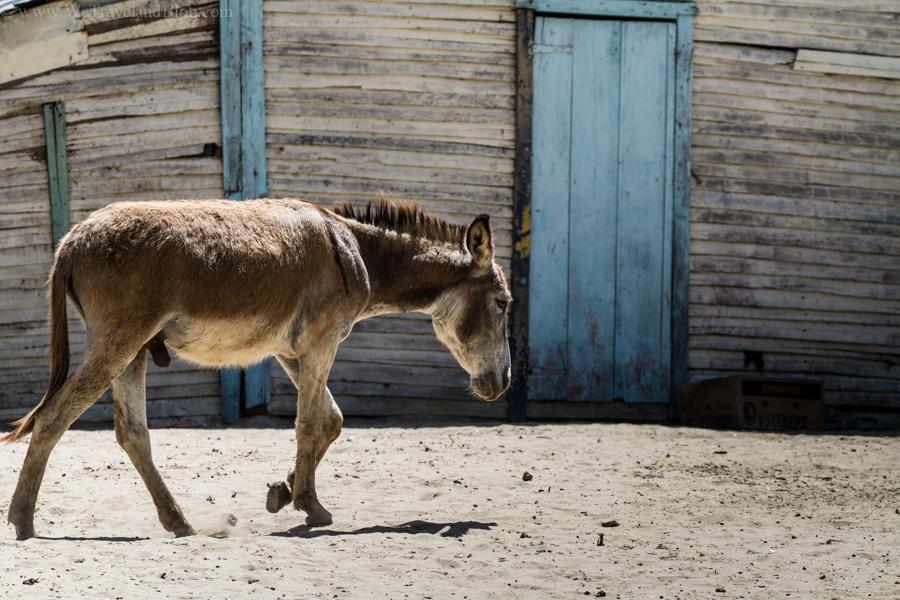 donkey, grey, blue, tropical, campo, country, wood, typico, dominican republic, http://wetravelandblog.com