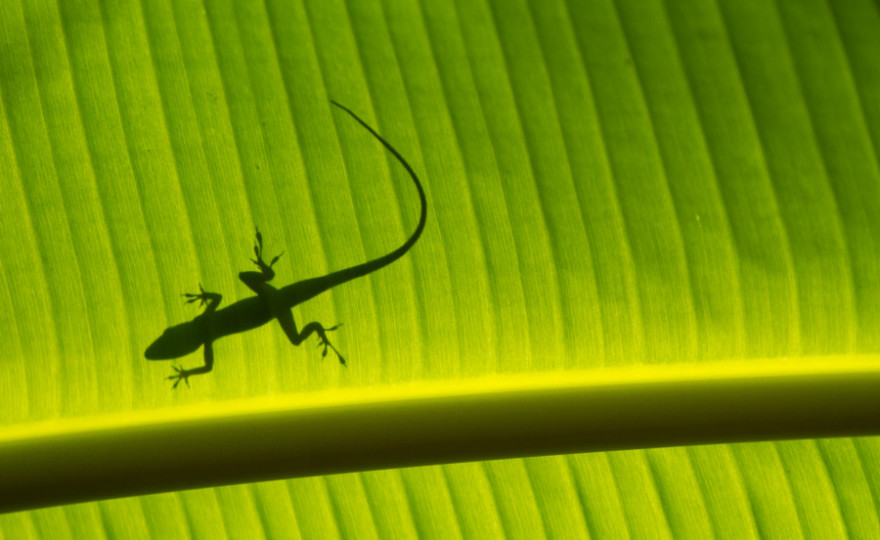 lizard shadow, lizard, green, leaf, small