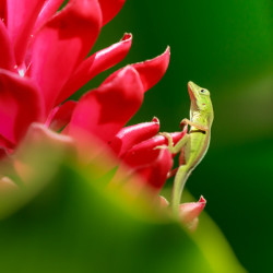 lizard, green, red flower, animal