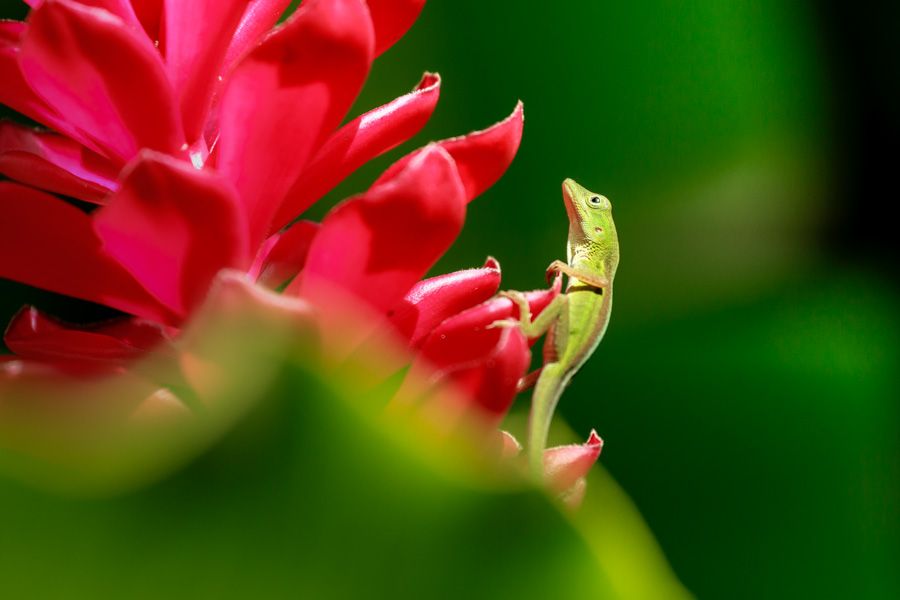 lizard, green, red flower, animal