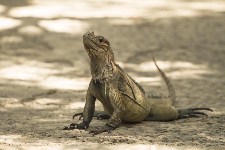 big mama lizard-1