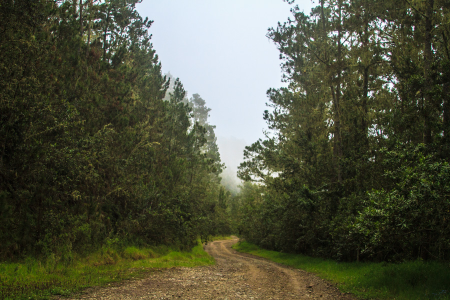 Pine Forest-3