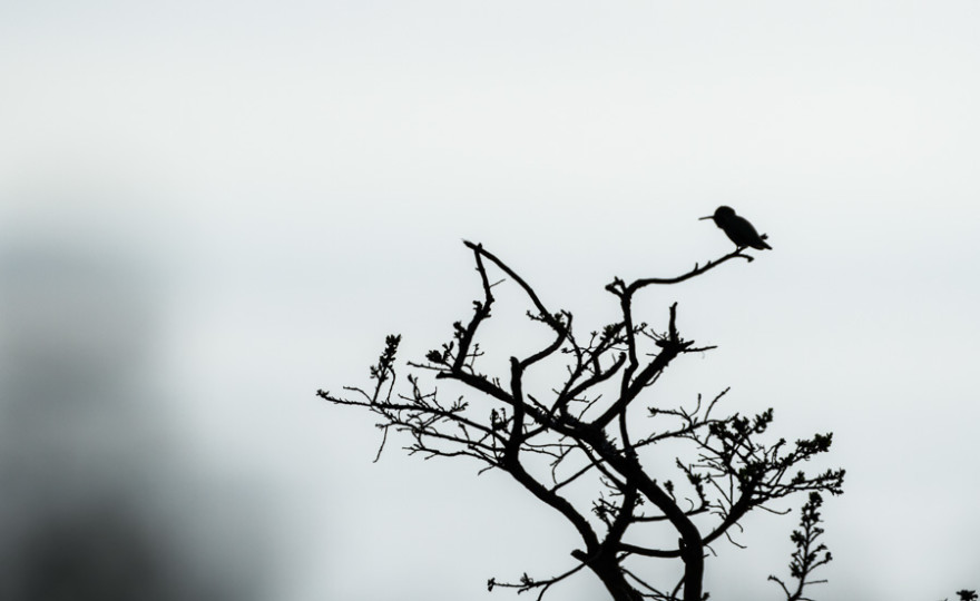 humming bird, bird, animal, silhouette