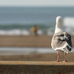 seagull, bird, animal, gazing