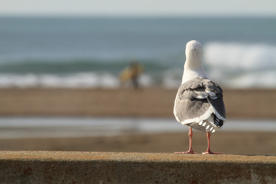 seagull, bird, animal, gazing