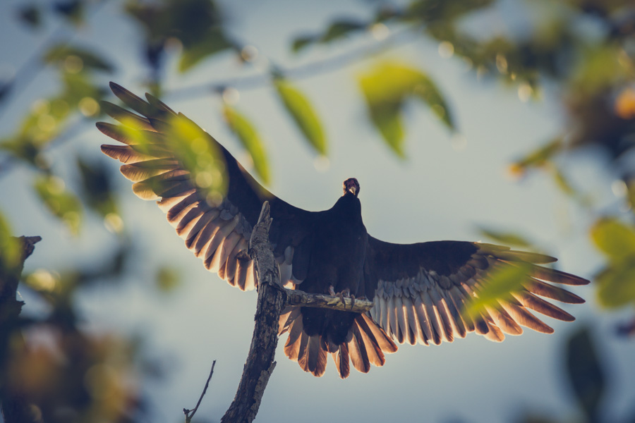 vulture birds of the world-1