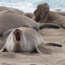Elephant Seals Post-10