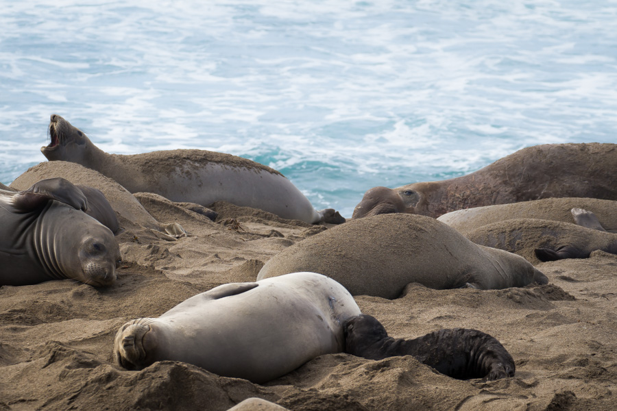 elephant seal, elephant seals, motherhood, california, coast, ocean, beach, sea, momma, baby, baby seal, breast feeding.