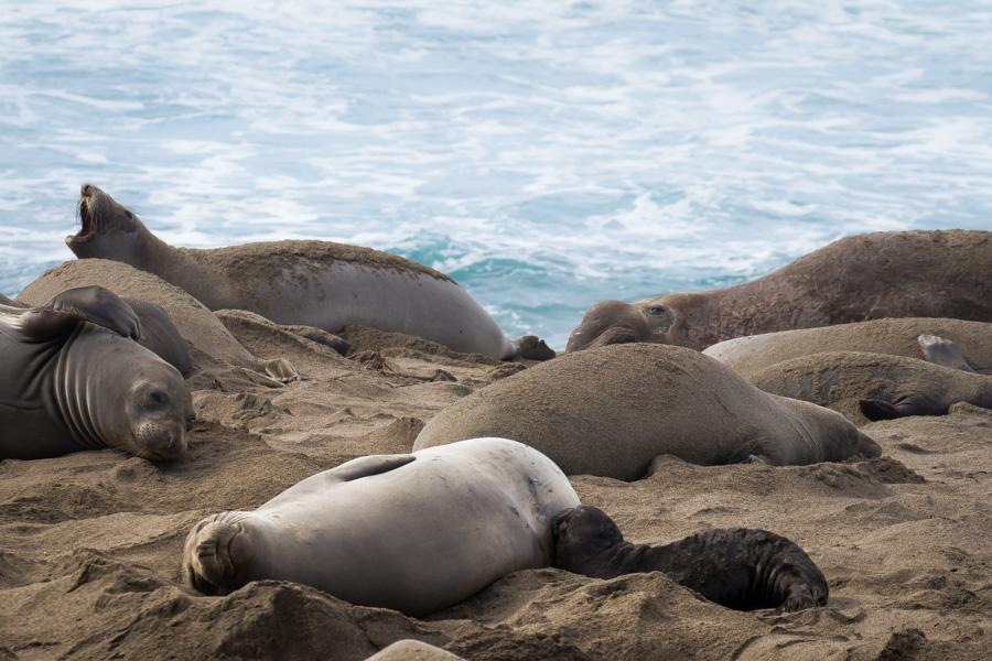 elephant seal, elephant seals, motherhood, california, coast, ocean, beach, sea, momma, baby, baby seal, breast feeding.