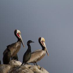 pelicans, animals, birds, wildlife