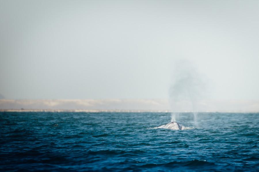 Laguna San Ignacio Whale Watching-7
