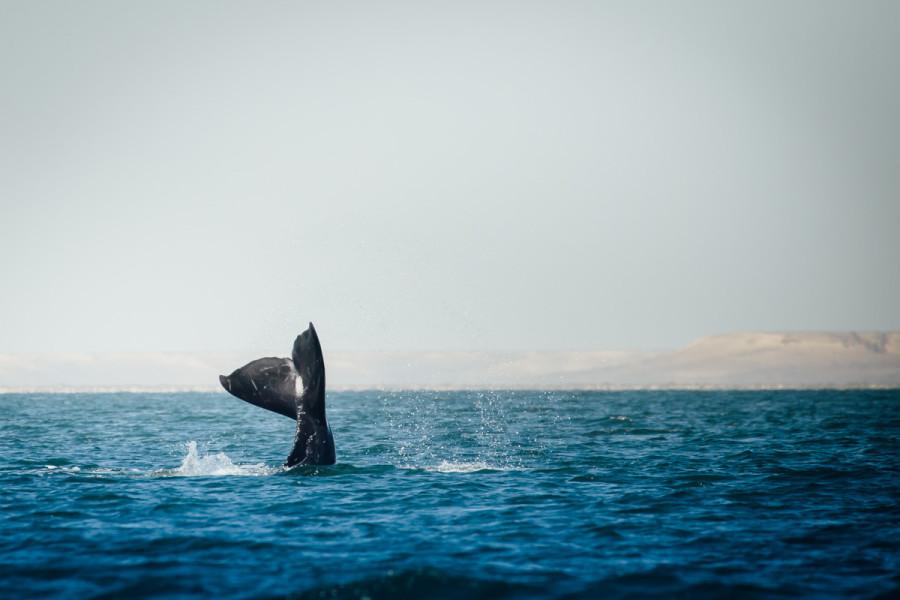 Laguna San Ignacio Whale Watching-8